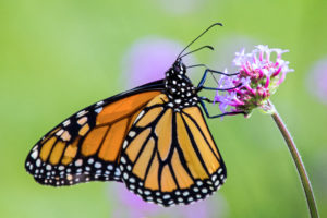 1-1-Monarch Pollination-4920-cr