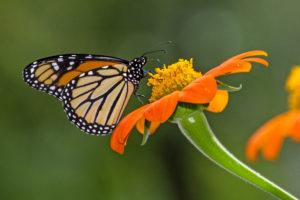 1-1-Monarch Pollination-4979