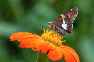 1-1-Silver-spotted Skipper sipping nectar-5011