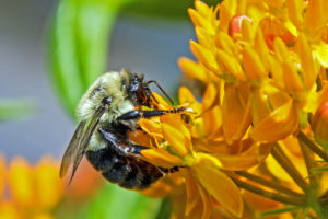 1-Bee pollinating Butterfly Weed-3009-cr
