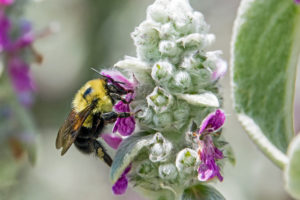 1- Bee pollinating Lambs Ear flowers-3110-cr