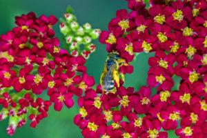1-Bee pollinating Sedum Flowers-2998