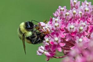 1-Bee pollinating Swamp Milokweed-3526-cr