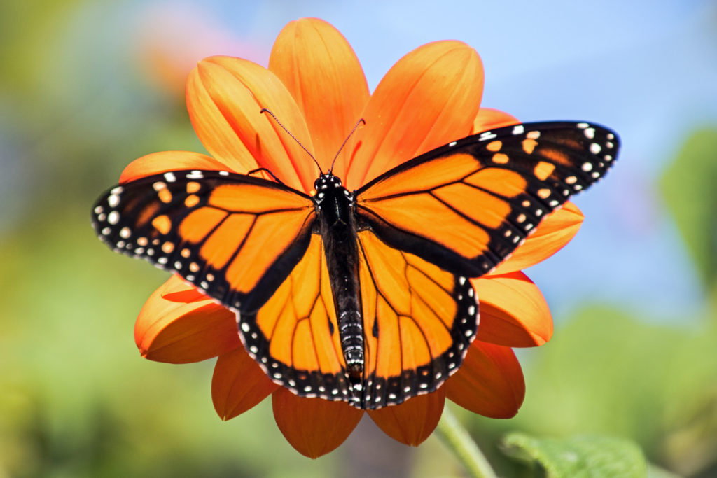 1-monarch-on-mexican-sunflower-wings-open-2372