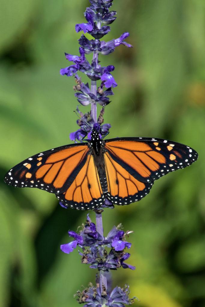 1-monarch-on-purple-flowers-2309-wings-open