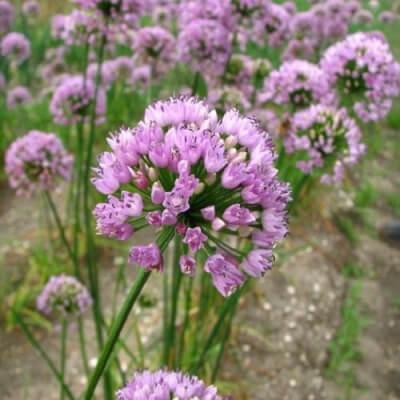Allium x Big Beauty