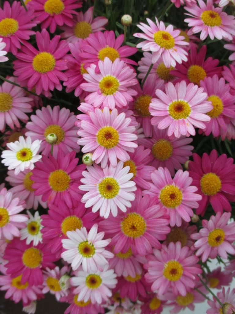 argyranthemum-angelic-candy-pink-2016-jpg