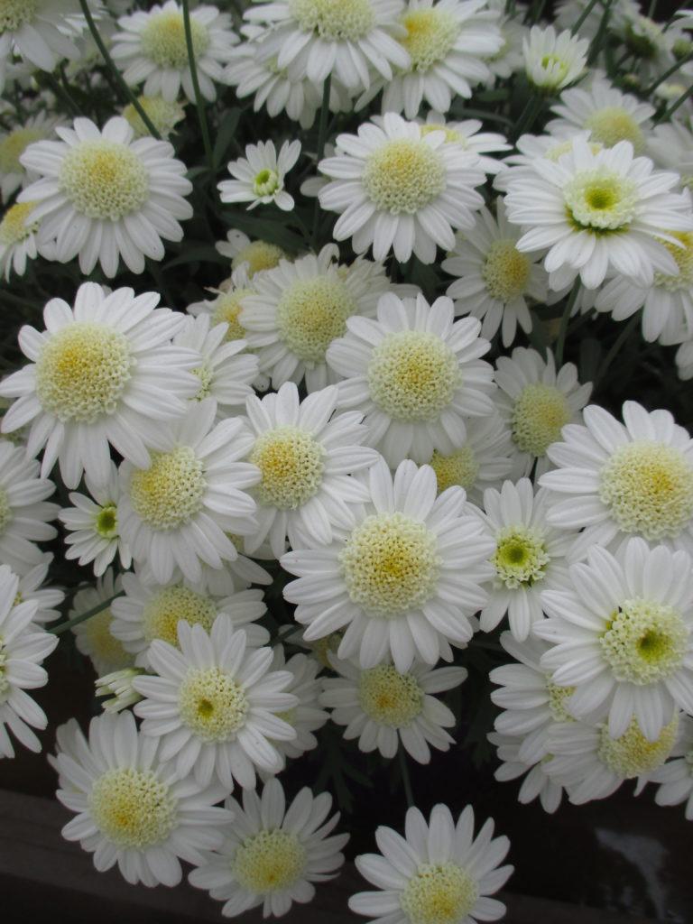argyranthemum-angelic-snow-2016-jpg