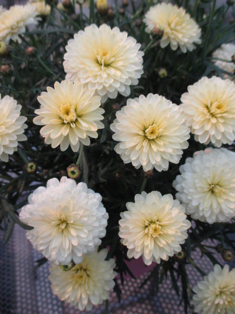 argyranthemum-day-zee-double-vanilla-2016-jpg