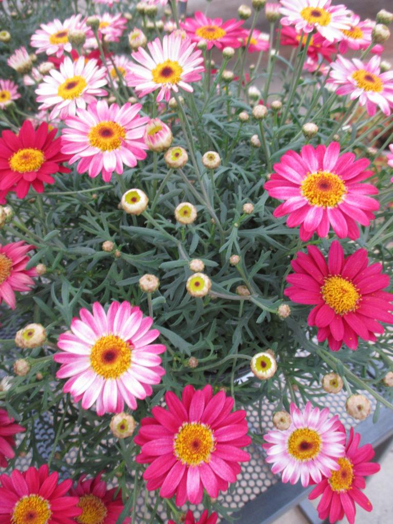 argyranthemum-day-zee-red-2016-1