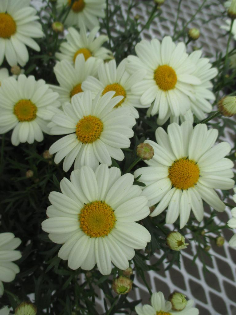 argyranthemum-honeybees-yellow-cream-2016-jpg