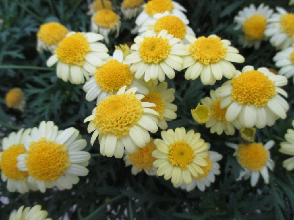 argyranthemum-sassy-double-yellow-2016-jpg