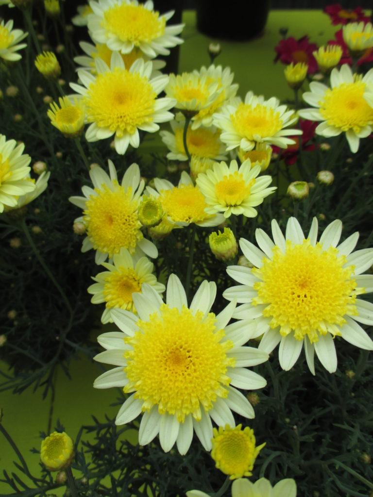 argyranthemum-sole-mio-improved-2016-jpg