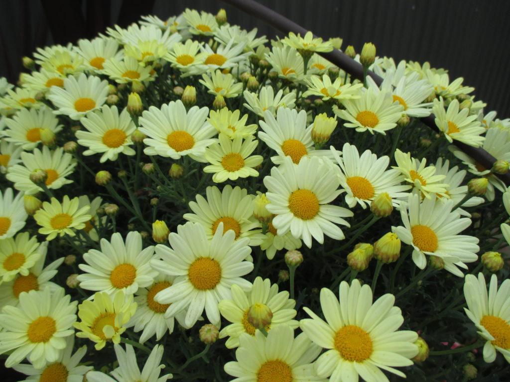 argyranthemum-summit-yellow-2016-jpg