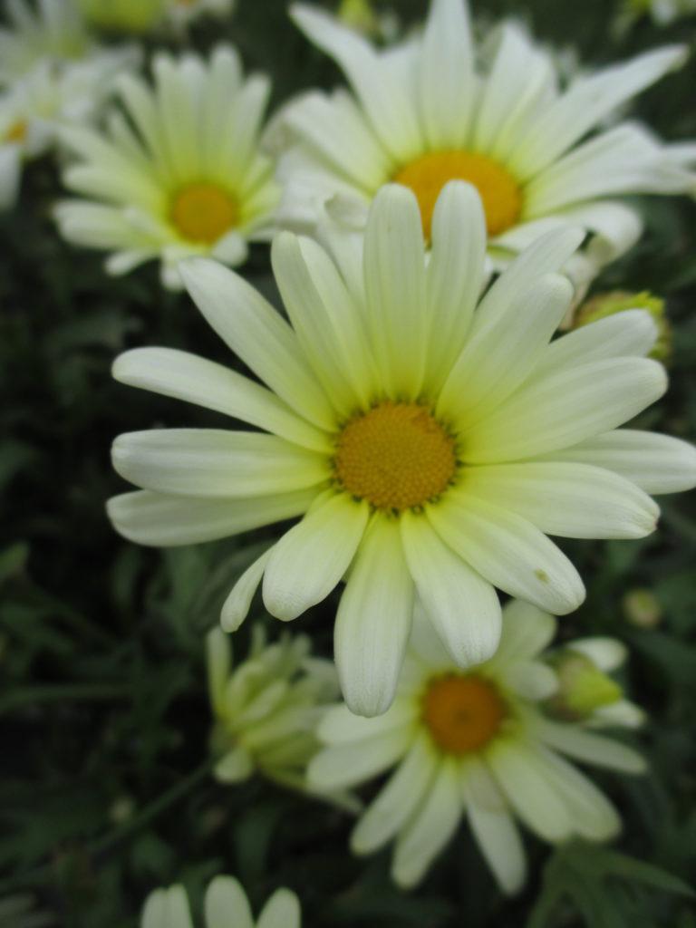 argyranthemum-vanilla-butterfly-2016-jpg