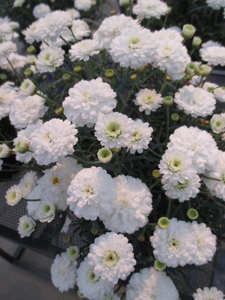 argyranthum-day-zee-double-white-2016-jpg