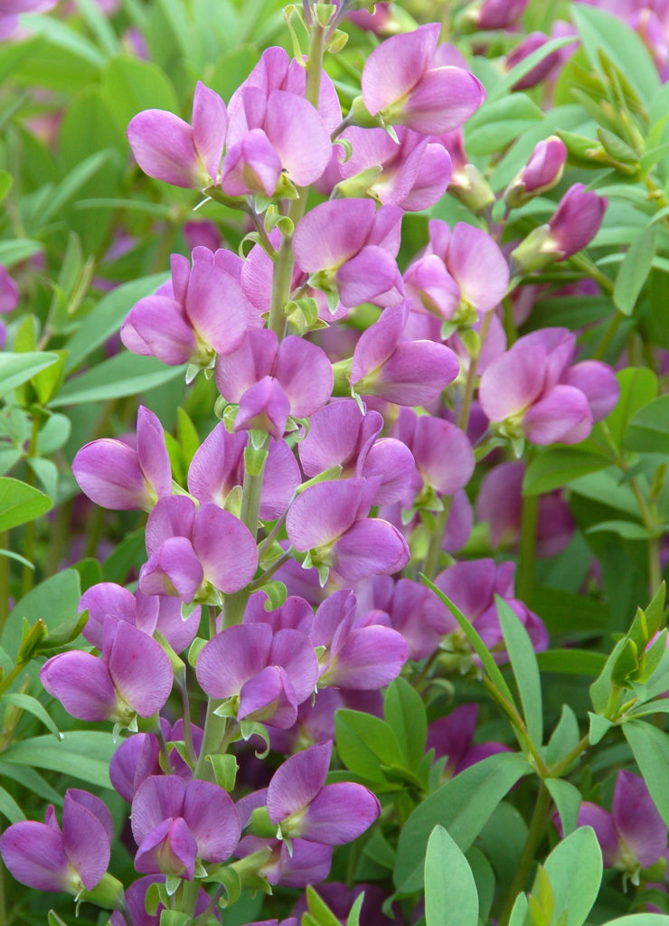 Baptisia 'Lavender Rose' acc 200411101 June 2 2008 CBG (13)