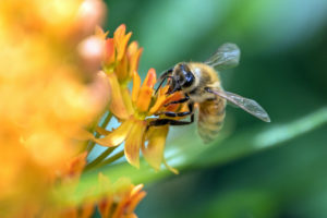 F-Bee pollinating Butterfly Weed flowers-0671