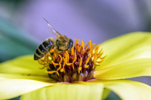 F-Bee pollinating Mystic Illusion Dark-eyed Dahlia-0715