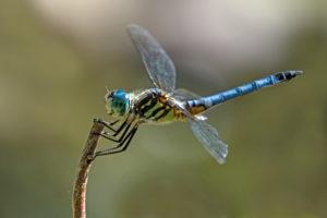 F-Male Blue Dasher Dragonfly-0199-A
