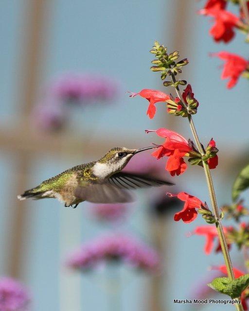 hummingbird-img_2814