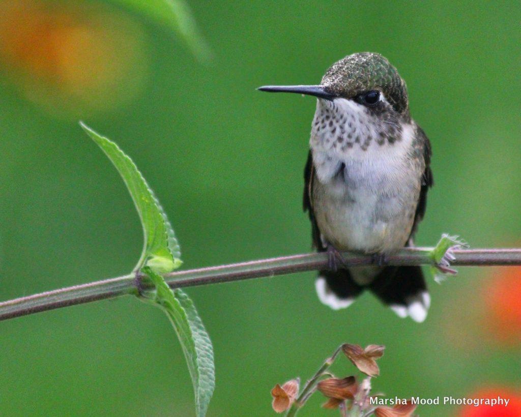 hummingbird-img_9881