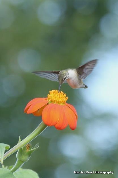 hummingbird-no-signature-img_1054