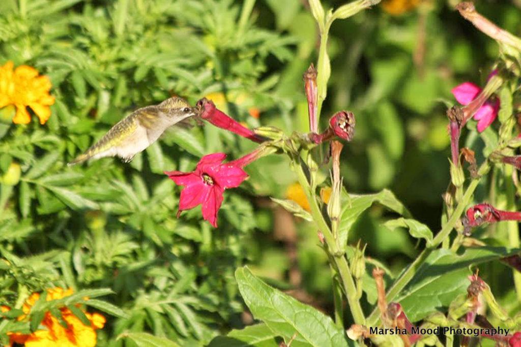 hummingbird-no-signature-img_1691