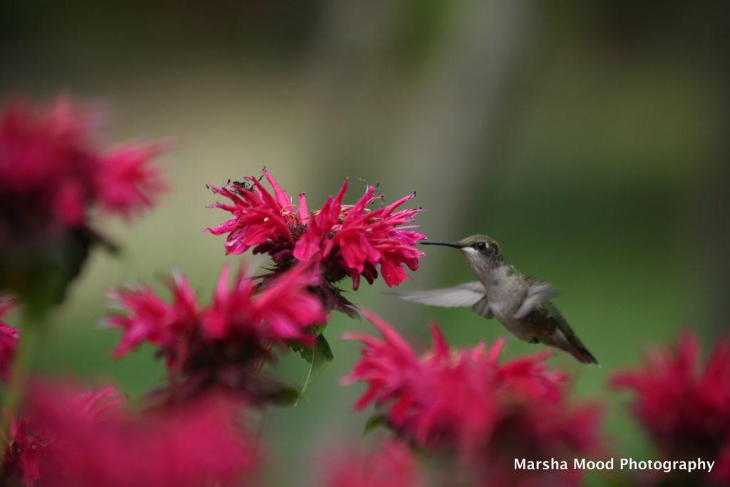 hummingbird-red-bee-balm-img_8251-jpg-original