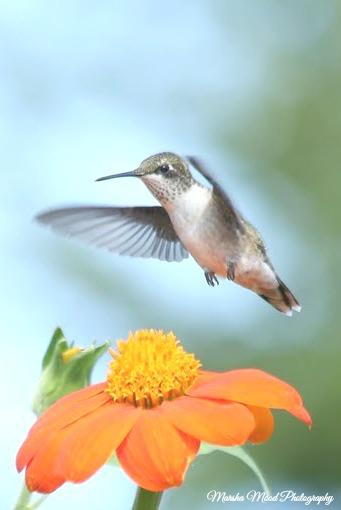 hummingbird-signature-img_1006