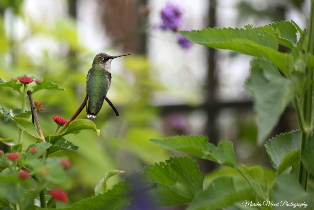 hummingbird-signature-img_8606