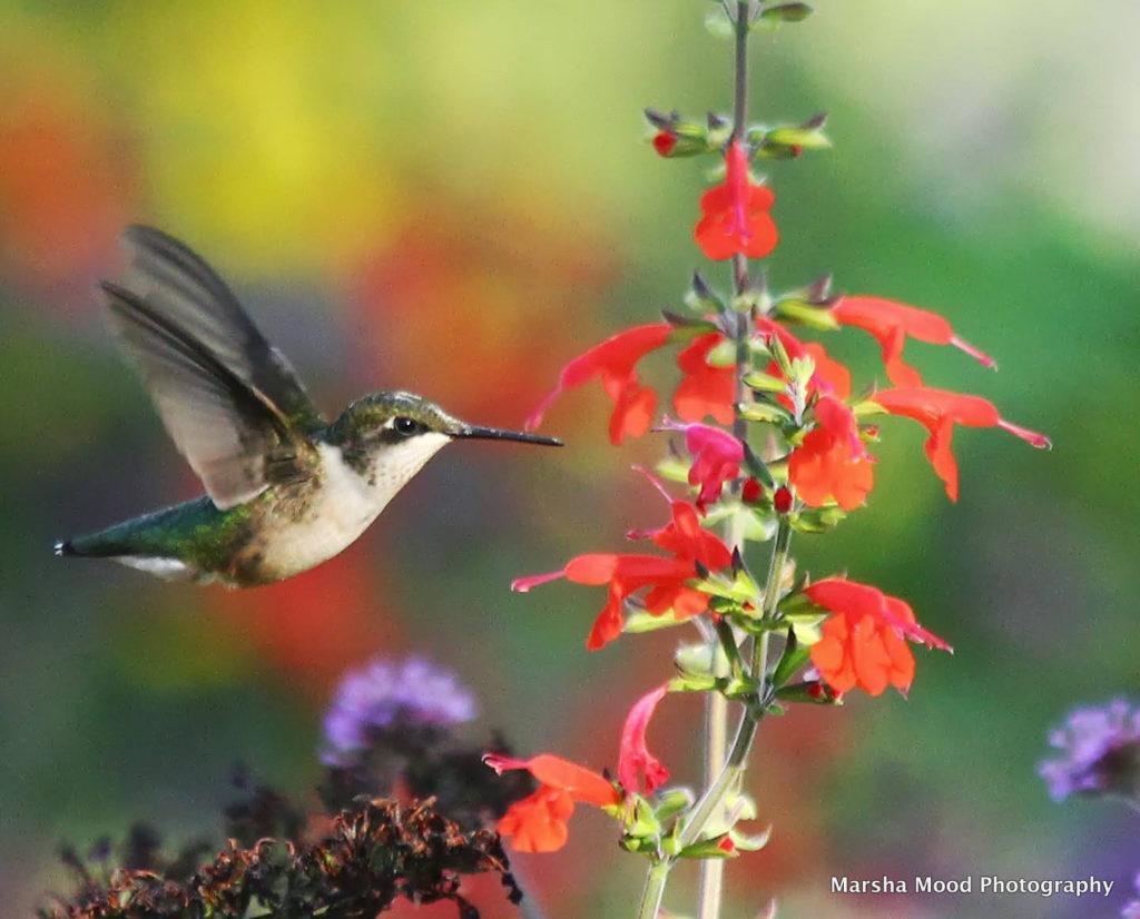 hummingbird-at-red-salvia