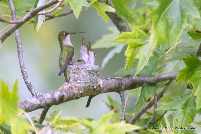 hummingbird-at-scheunemanns-img_8402