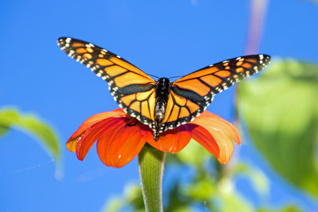 monarch-on-mexican-sunflower-wings-open-2268