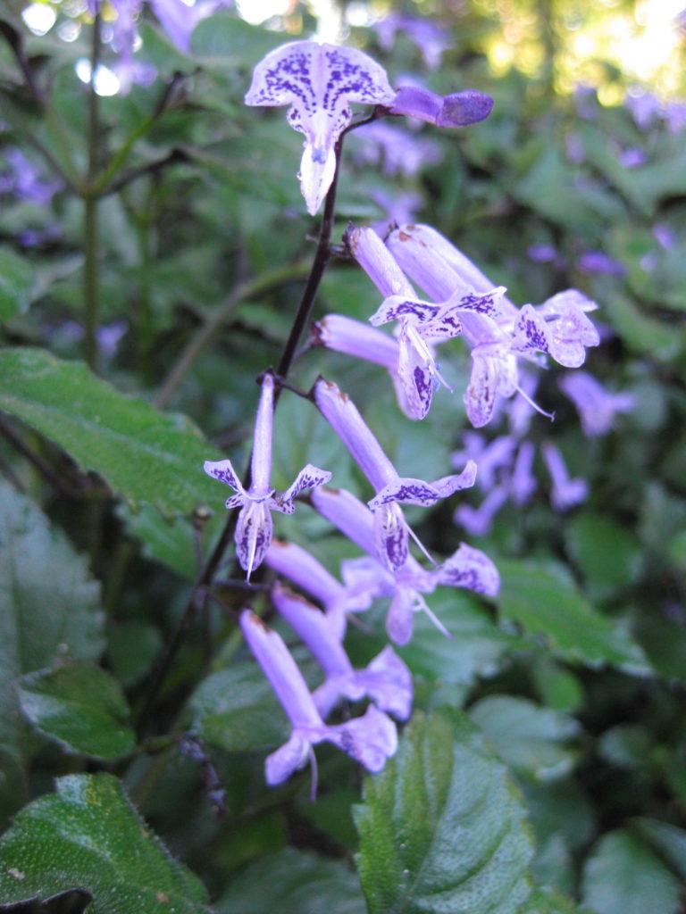 plectranthus-mona-lavender-bloom-shot-2013-2