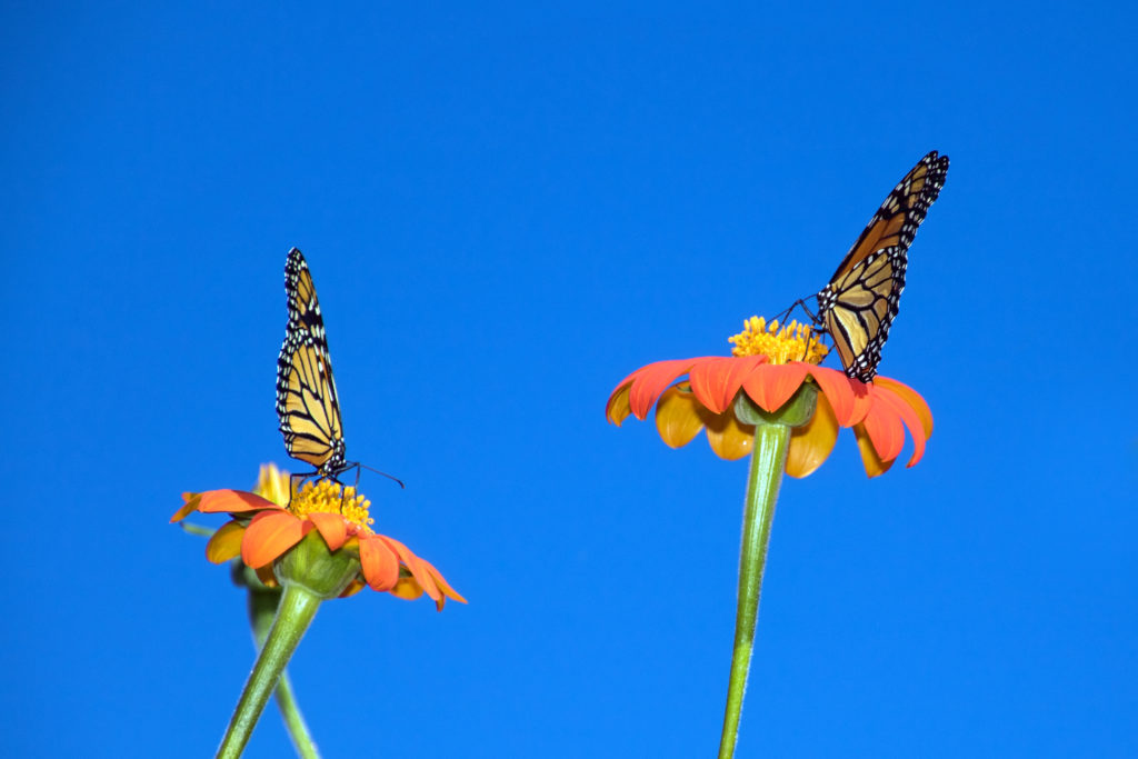 two-monarhs-on-mexican-sunflowers-2318
