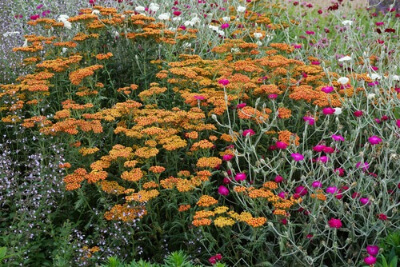 achillea- Walther Funkle